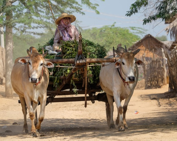 """Collecting food for the cows near Bagan"""