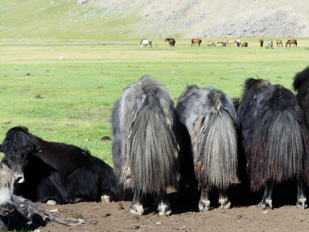 Tails of the Yaks